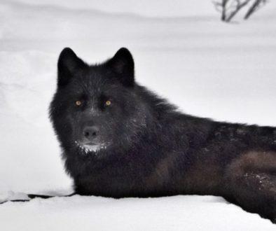 Black Dog Legend